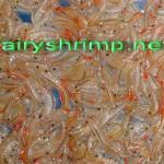 fresh fairy shrimp